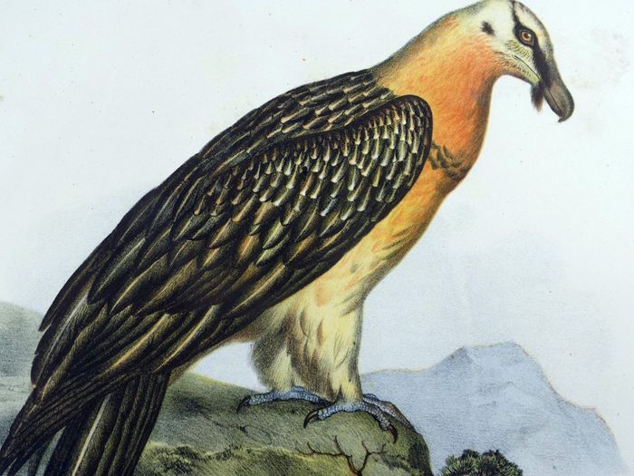 Lot of 5 folio colour lithographs by Leopold Fitzinger (1802 – 1888) - Birds of Prey: Vultures, Geier - 1860