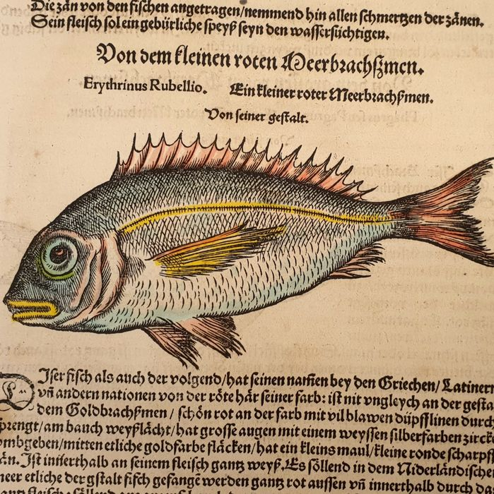 2 prints - Conrad Gesner(1516 – 1565) - Ichthyology - Hand-coloured fish from the Fish Book