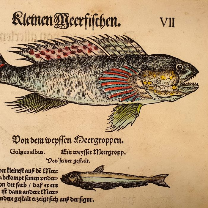 Conrad Gesner (1516 – 1565) - Ichthyology - Hand-coloured fish from the Fish Book