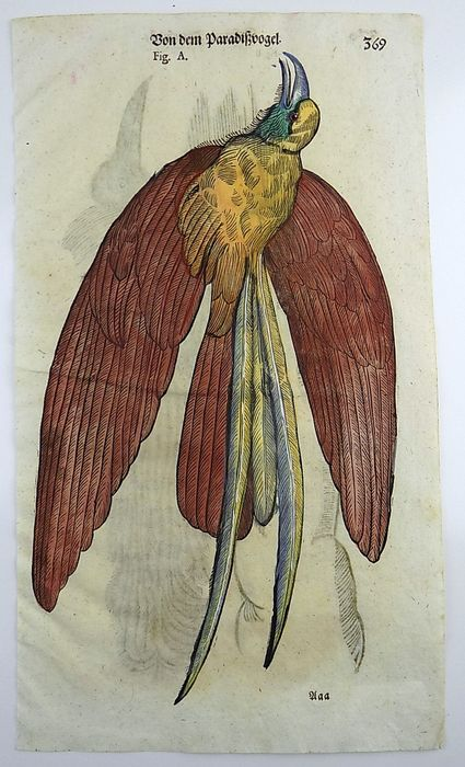 Conrad Gesner (1516-1565) - Folio with hand coloured woodcut - Ornithology: Birds of Paradise - 1669