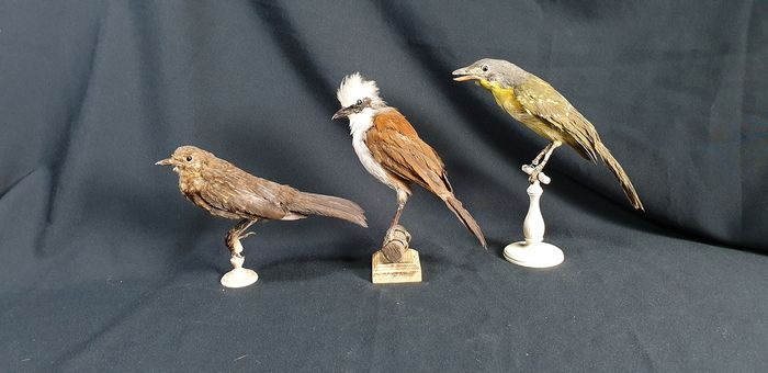 Small collection of vintage Bird Taxidermy full body mounts - Garrulax leucolophus and others - 25×10×30 cm - 3