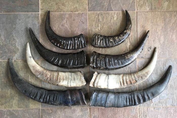 Selection of Water Buffalo Horns - various sizes - Bubalus bubalis - 7×10×53 cm - 8
