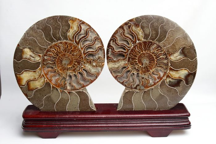 Ammonite - Large halves, polished, with custom stand -  Aioloceras (2) - 24×24×20.2 cm