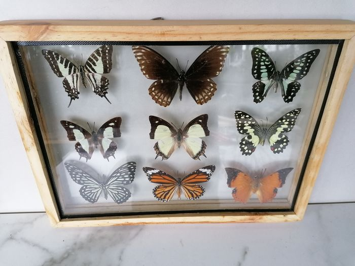 Vintage Butterfly Display in see-through glazed frame - Lepidoptera sp. - 30×23×3 cm