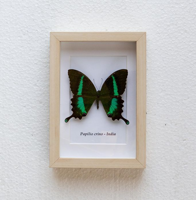 Butterfly - papilio crino - 3×12×17 cm