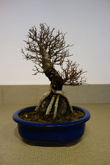 Japanese elm bonsai (Zelkova) - 26×20 cm - Japan