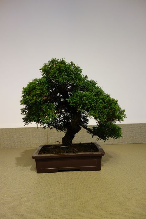 Juniper bonsai (Juniperus) - 32×35 cm - Japan