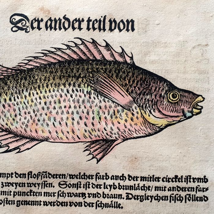 Conrad Gesner (1516 – 1565) - Ichthyology - The Lepras Attagenus - Hand-coloured fish from the Fish Book