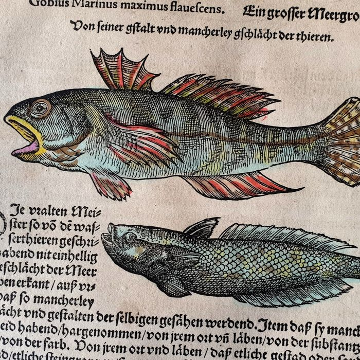 Conrad Gesner (1516 – 1565) - Ichthyology - The Gobius Marinus - Hand-coloured fish from the Fish Book