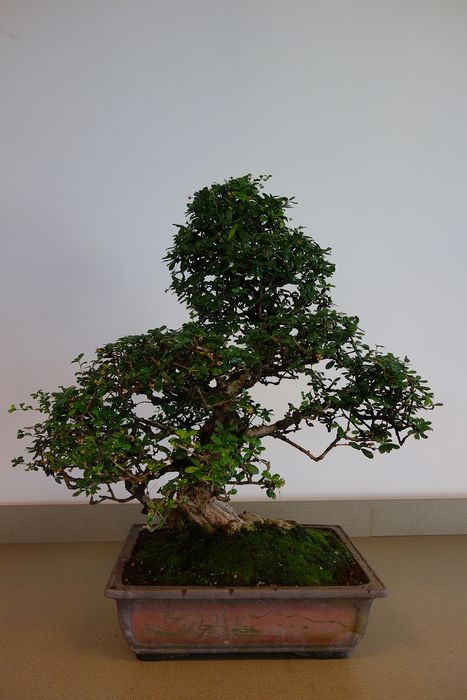 Fukien tea bonsai (Carmona retusa) - 80×82 cm - China
