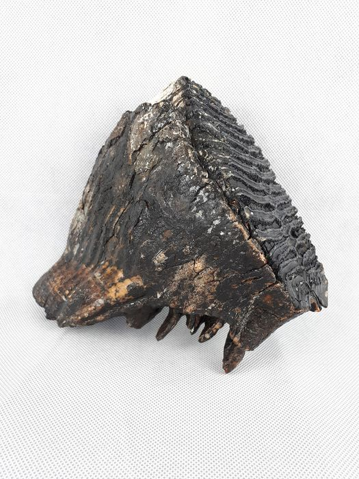 Woolly Mammoth - Tooth - Mammuthus primigenius  - 19×10×19 cm