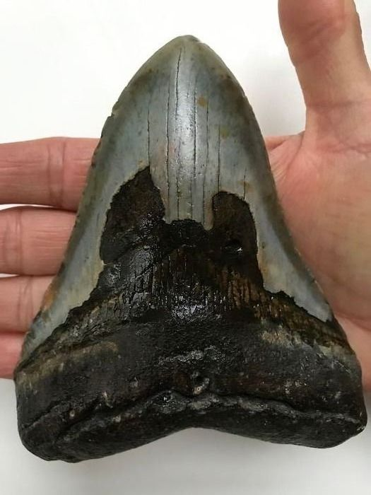 Megalodon Shark - Tooth 13.2 cm (5.20 inch) - Carcharocles megalodon