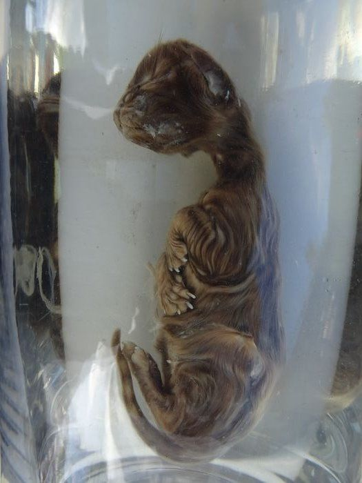 African Wildcat Kit Preserved in alcohol or formaldehyde - Felis lybica - 4×4×15 cm