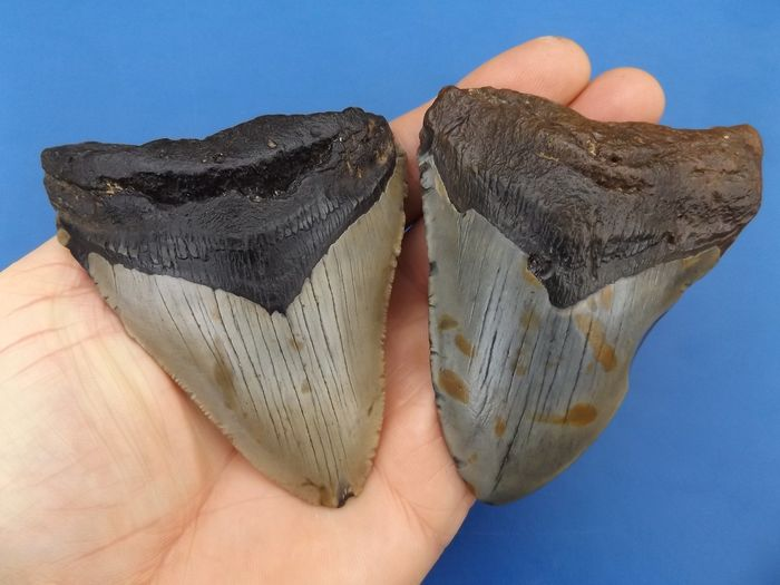 Set of good Fossil - Shark Teeth (2) - Carcharocles megalodon - 103×75×17 mm