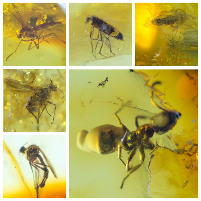 Amber - Polished Baltic Amber with inclusions, Diptera-fly - Ant (Formicidae) - 5×12×25 mm