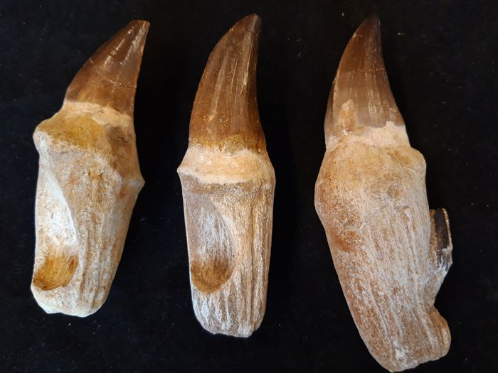 Set of large Mosasaurid - Teeth - Mosasaurus sp. (3)