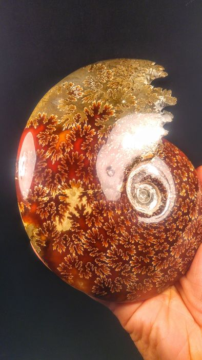 Large, high-colour Fossil Ammonite - hnad-polished - Cleoniceras sp. - 16×14×4 cm