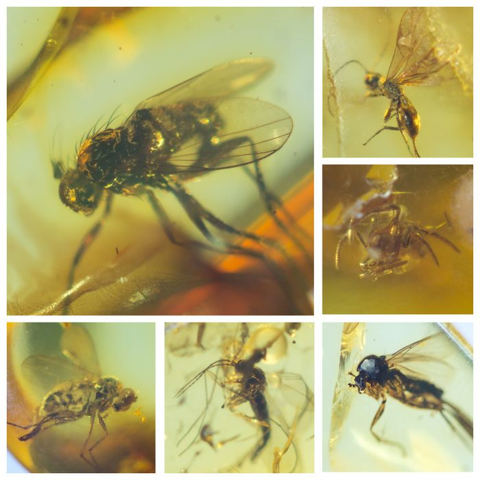 Amber - Polished Baltic Amber with inclusions, Diptera-fly - and other insects (9) - 6×12×24 mm