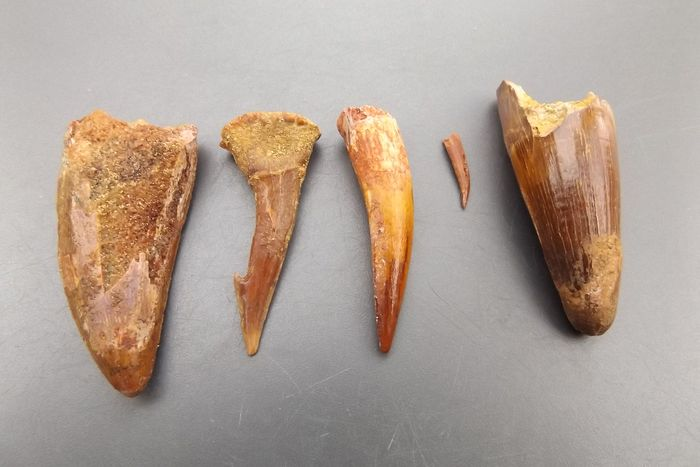 Set of various Dinosaur - Teeth (5) - Spinosaur, Carcharodontosaur, Pterosaur & others - 48×21×19 mm