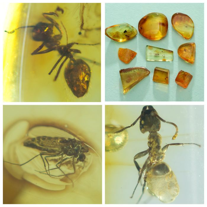 Amber - Polished Baltic Amber with inclusions, Diptera-fly - 2 Ants (Formicidae) - 7×15×19 mm