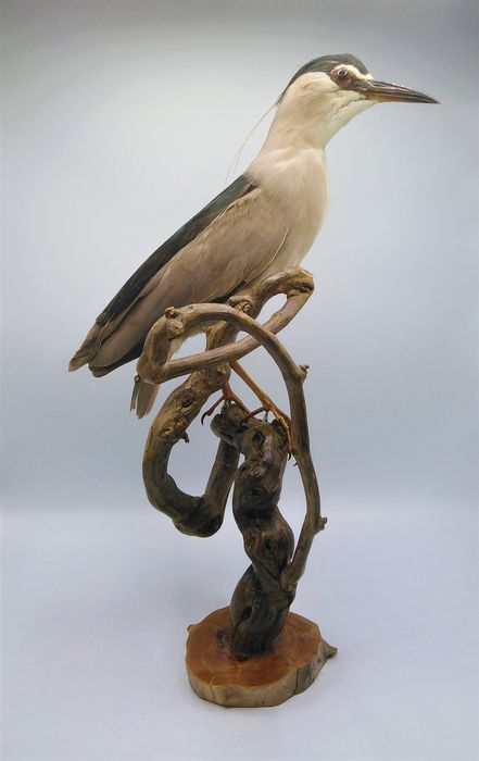 Nicely presented Night Heron - Full-body mount - Nycticorax nycticorax - 60×30×30 cm