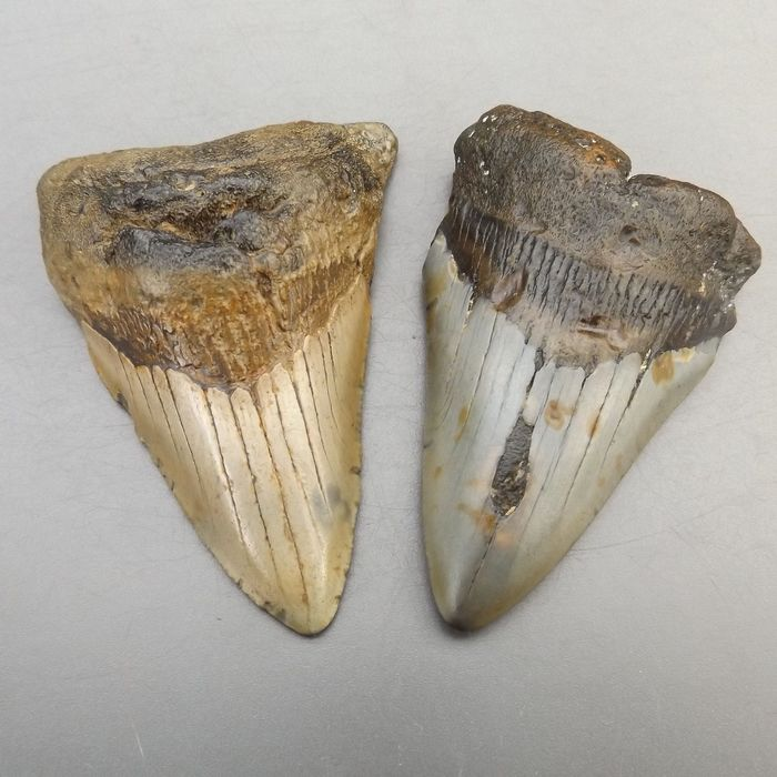 Set of good Fossil - Shark Teeth (2) - Carcharocles megalodon - 94×64×21 mm