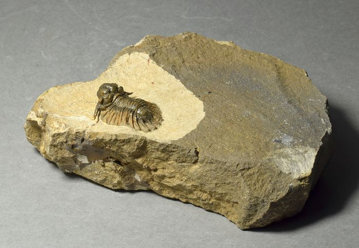 Trilobite fino - Acanthopyge (Lobopyge) sp.
