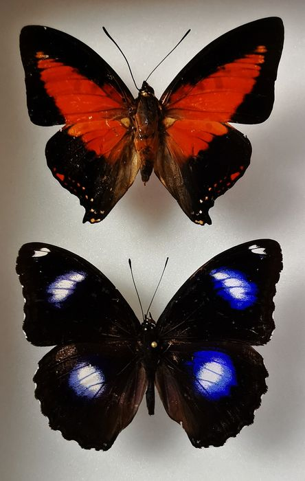 Shining Red Charax with Common Eggfly Shadow box - Charaxes zingha with Hypolimnas bolina - 15×0×18 cm