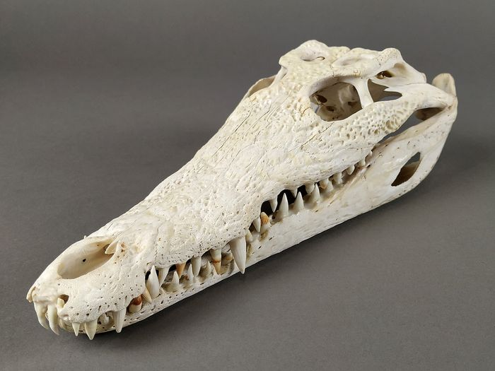 Nile Crocodile Skull - Crocodylus niloticus - 31×12×8.5 cm - IT-IM-2008-MCE-06396
