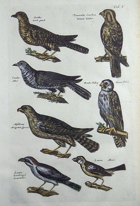 Matthäus Merian (1593-1650) - Ornithology - Cuculus Cuckoos Falcon Accipitris - Folio hand coloured engraving - 1657