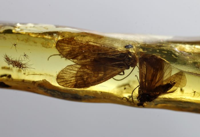 Baltic Amber with Large Moth inclusions (Lepidoptera) - 38×6×4 mm