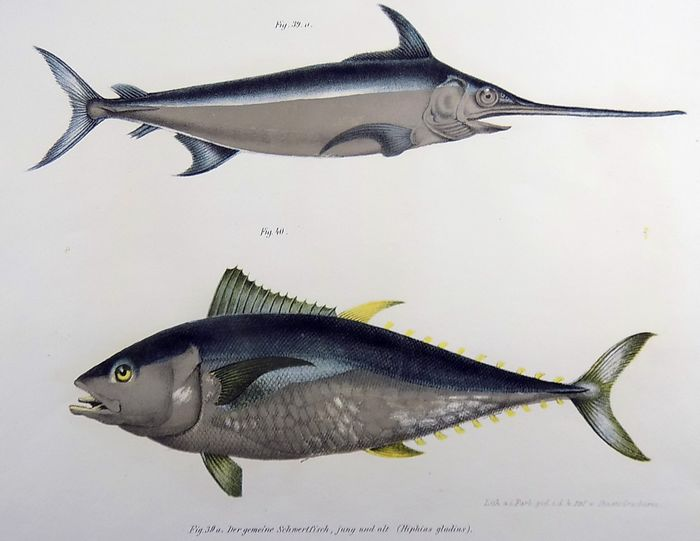 Lot of 2 folio colour lithographs by Leopold Fitzinger (1802 – 1888) - Mackerel, Swordfish, Leerfish, Largehead hairtail, Tuna - 1860