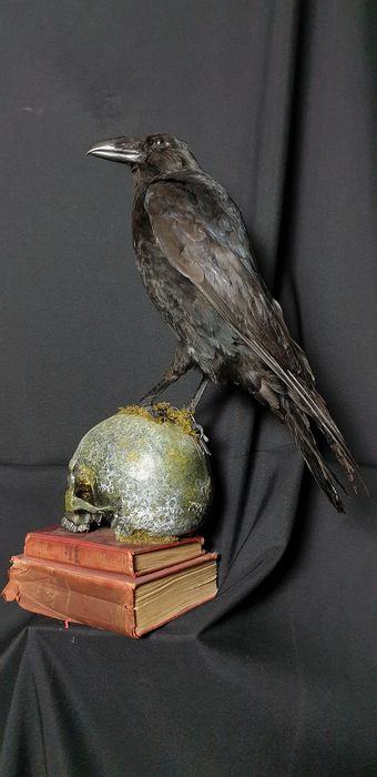 Large Carrion Crow mounted on replica skull - United Kingdom - Corvus corone - 56×45×25 cm