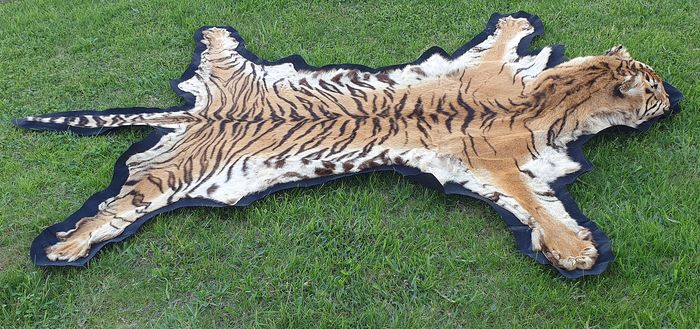 Antique Bengal Tiger Skin with head (full CITES Article 10, Commercial Use) - Panthera tigris tigris - 256×192×182 cm - 19PTLX05192C
