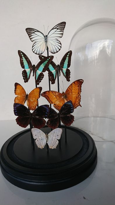 Mixed Butterflies  preserved and set under Glass Dome - various species - 18×28×18 in