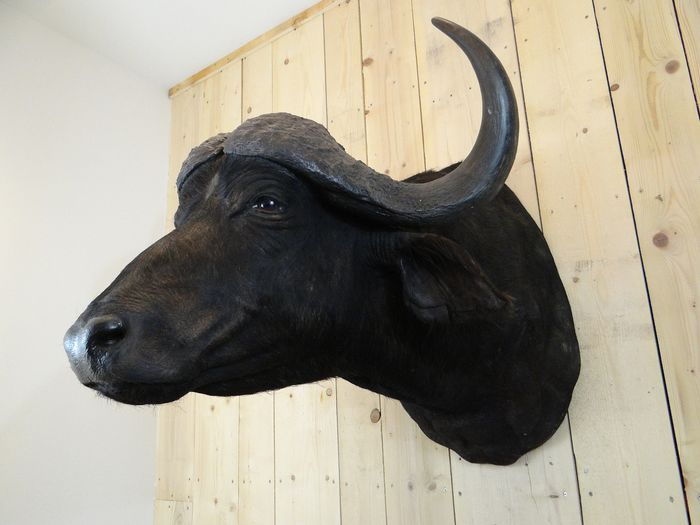 Large Cape Buffalo Head mount - Syncerus caffer - 84×120×90 cm