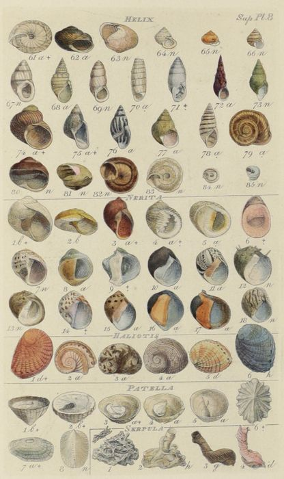 William Wood and Sylvanus Hanley - Index testaceologicus. An illustrated catalogue of shells... - 1856