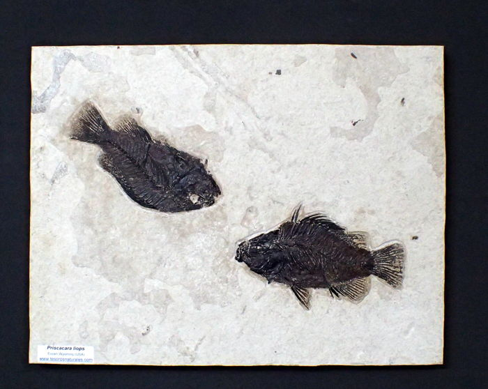 Fossil Fishes - on matrix - Priscacara liops