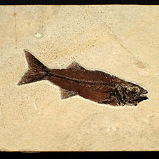 Fish - On matrix -  Mioplosus labracoides