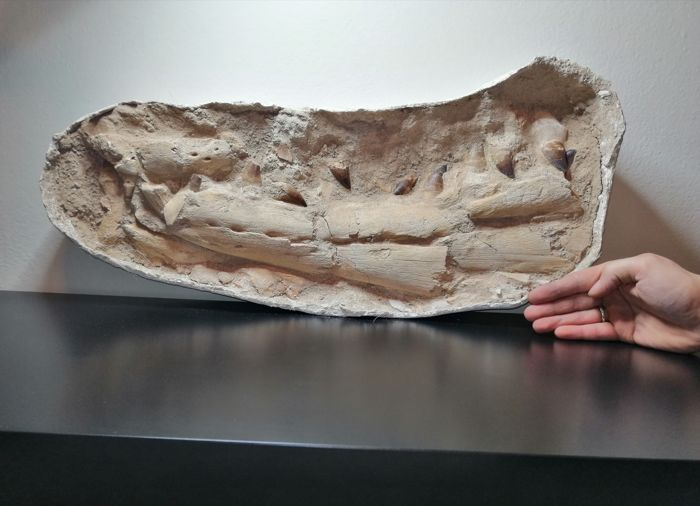 Prognathodon giganteus - Massieve kaak - Lower left dentary  - 30×10×60 cm