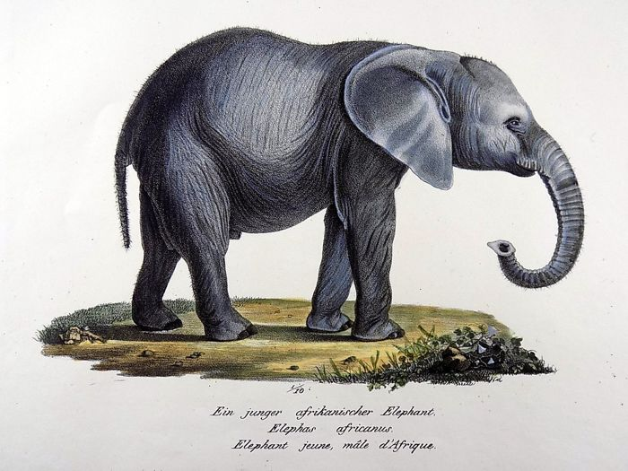 Karl Brodtmann (1787 - 1862) Folio 31.5 cm - African Elephant Calf - Hand coloured stone lithograph - 1824