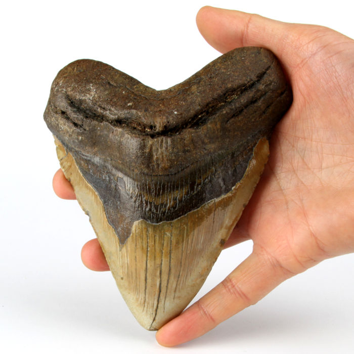 Fossil Megalodon Shark - Tand - Carcharocles megalodon - 143×119×27 mm