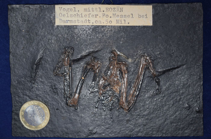 Ralle - bird from the pit Messel - both wings complete, with torso skeleton - Messelornis cristata - 0.5×14.4×10 cm