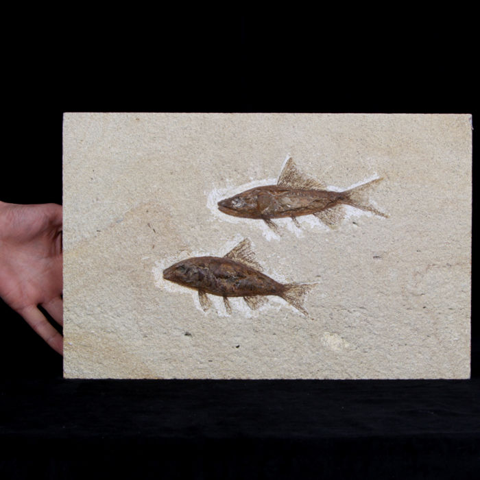 Slab with Inclusions Fish fossils - 26×40×3 cm - 6800 g