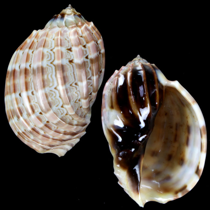 SPECIAL WHITE COLOR - hybrid species - Shell Collection - Harpa cabriti v. major - Special Color white - Ibrid - 105×72×52 mm