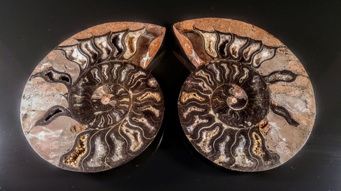 Ammonite - Shell - Cleoniceras 2 symmetric Black- Grey colour sides - 145×100×35 mm