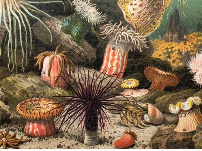 Meyers - Set of 9 antique sea life prints : fish, anemones, shells, jellyfish