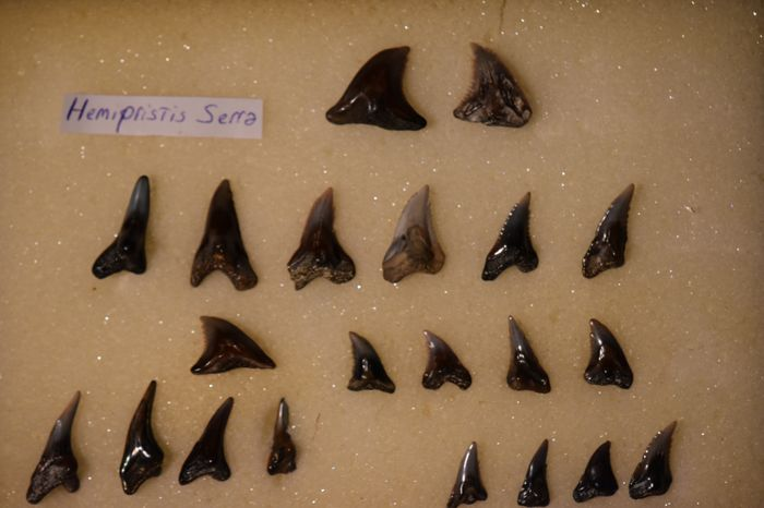 Snaggle-tooth Shark - Collection of Teeth - Hemipristis serra (21) - 0×25×0 mm