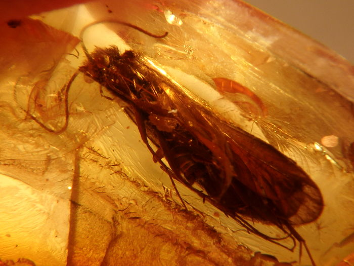 Baltische Amber Cabochon - met PERFECTE enorme CADDIS FLY (10 MM) opname - Trichoptera sp. - 13×11×4 mm