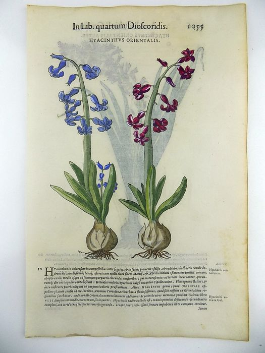Giorgio Liberale (1527–79); W. Meyerpeck - Hyacinth Scilloideae - 2 folio woodcuts on one leaf - 1562